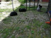 Angorakaninchen schwarz tätowiert