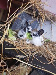 6 Kaninchenbabys zu