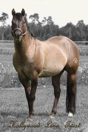 Quartier Horse Hengst Deckanzeige
