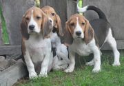 Lebhafte Beagle Welpen vier Monate
