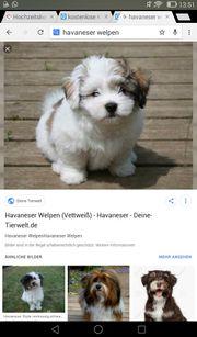 Suche einen Havaneser Mix Welpe