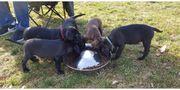 Liebevolle Silber Labrador Dogo Canario