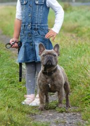 Französische Bulldogge Blue-