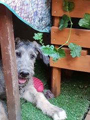 Irish Wolfhound Irischer Wolfshündin Yolanda
