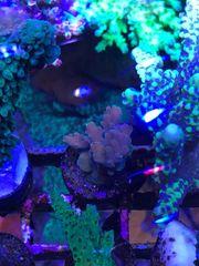 Meerwasser Korallen Ableger Montipora Acropora