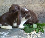 Zwergwidder Kaninchen jung