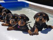4 Rotti Jungs