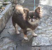 Chihuahuahündin Sweety sucht
