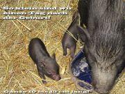 Minischweine suchen einen