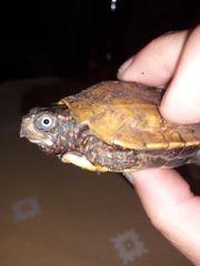 Chinesische Zackenerdschildkröte