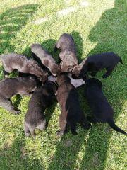 Schäferhundhusky-Labradormix