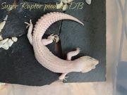 adulte leopardgeckos günstiger abzugeben durch