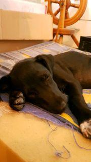 Patterdale-Terrier Mix Maggy 9 Wochen
