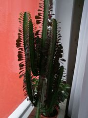 Zimmerpflanzen Säulenkaktus