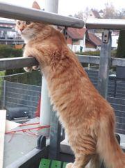 GÖTZIS Katze Kater Mango wird
