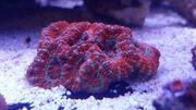Meerwasser Acanthastrea rot orange gestreift