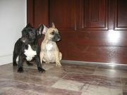 französische Bulldogge braun rasserein - Hündin