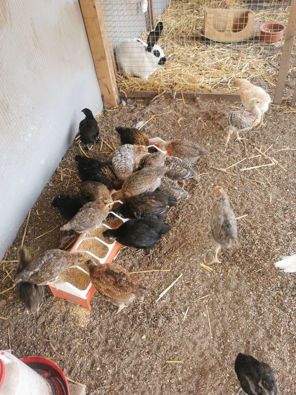 jung hühner 47 wochen alt bernburg  bauernhof  deine