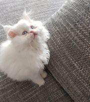 Nur noch 1 perser kitten