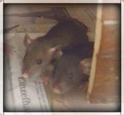 Super süße Rattenbabys!!!