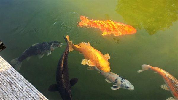 Kois gr kleinanzeigen kaufen verkaufen bei deinetierwelt for Teichfische verkauf