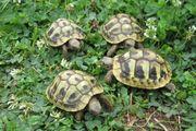 Griechische Landschildkröten Preis gesenkt THB