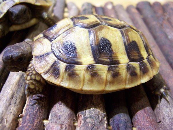 Landschildkröten Thh + Thb + » Reptilien, Terraristik