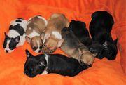Französische Bulldoggen Welpen freiatmend