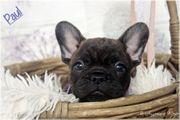 Französische Bulldoggen Welpen mit Papiere