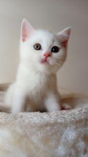 Weisse BKH Kätzchen zu verkaufen