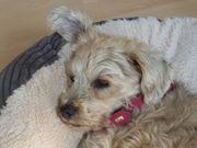 Liebe ältere kleine Terriermischlingshündin 10