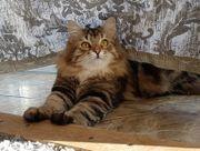 Sibirischer reinrassiger Katzenteenager