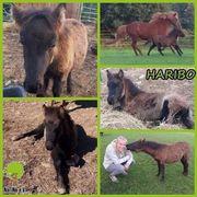 Haribo - knuffiges Shetty-