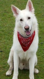 Weißer Schäferhund Deckrüde