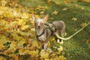 Linus, scheuer Chihuahua