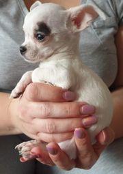 Welpe Chihuahua männlich