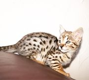Savannah F2 Kitten,