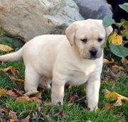 Labrador-Welpe von