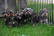 Anhängliche Yorkshire Terrier Welpen