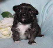 Chihuahua - und Mini - Chihuahuawelpen aus