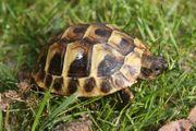 Griechische Landschildkröte - Nachzucht