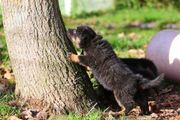 Chodsky pes Welpen -