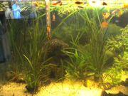 Wasserpflanzen fürs Aquarium