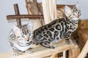 Menschenbezogene Bengal Kitten