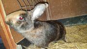 Kaninchen der Rasse Japaner 1