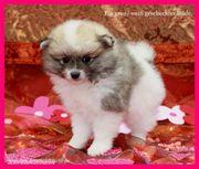 Pomeranian Hündinwelpe gescheckt