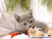 BKH Kitten in blue und