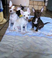 Noch 2 Kurzhaar Chihuahua Welpen