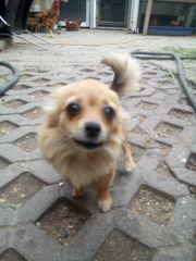 Chihuahua Hundin