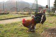 Hühner, Zwerg-Hühner,